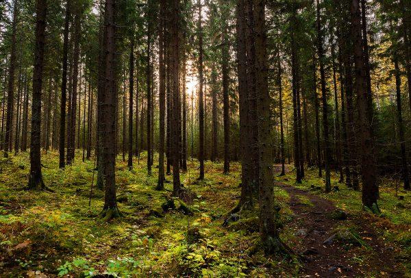 Sibeliuksen Metsä - Sibelius Forest